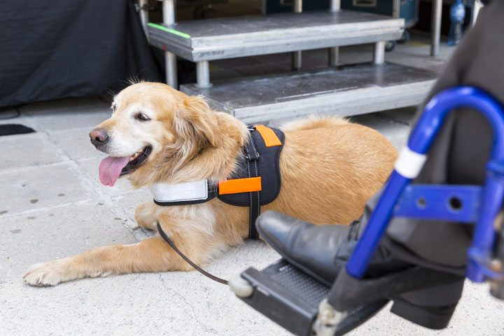 service dog, golden retriever with owner who is in a wheelchair