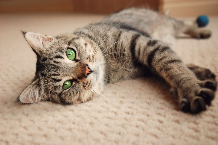 a cat laying on the carpet